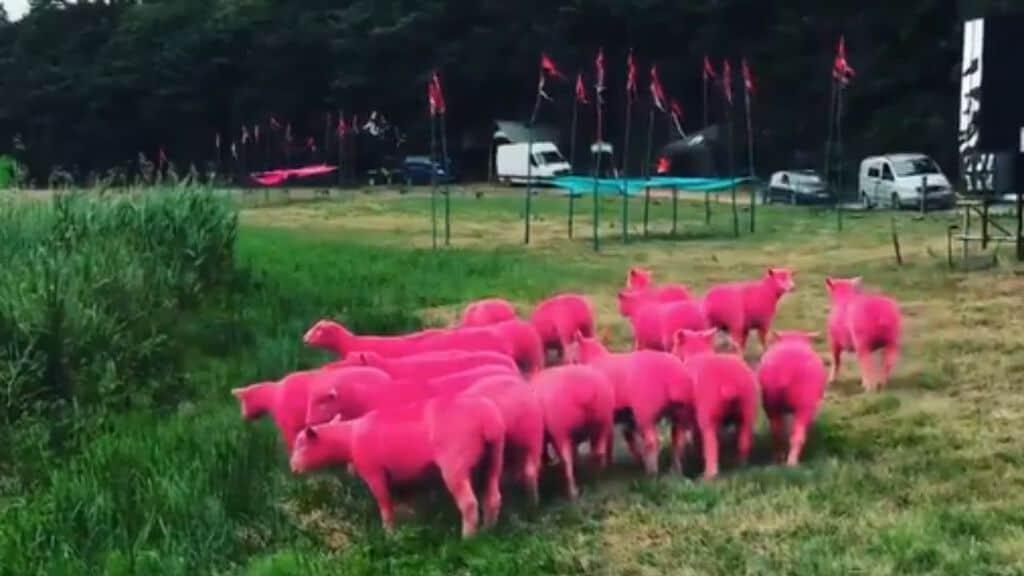 pecore tinte di rosa che pascolano nel prato