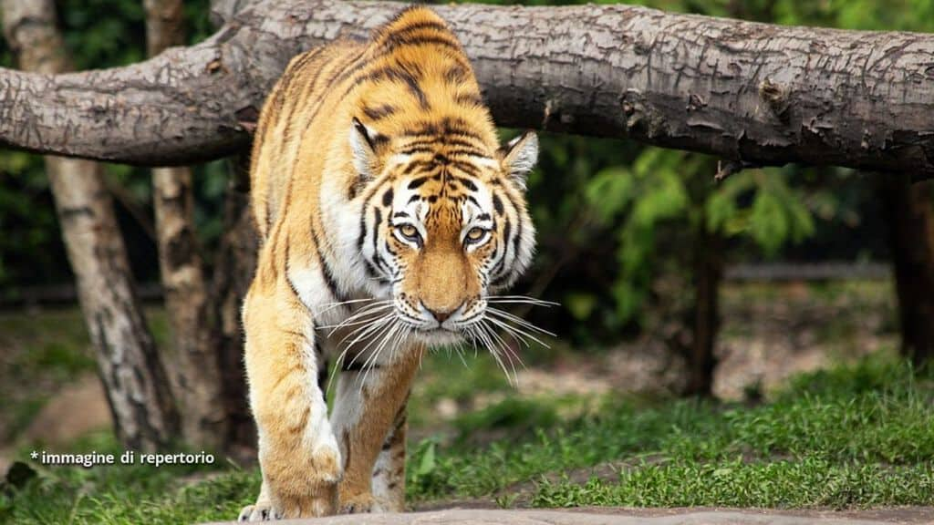 Tragedia : Tigre uccide domatore nel Circo Orfei a Bari