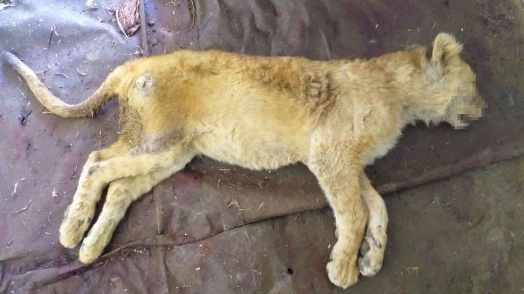 Cucciolo leone morto fattoria orrori