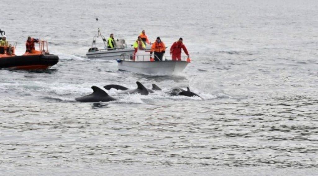 caccia alle balene alle isole faroe