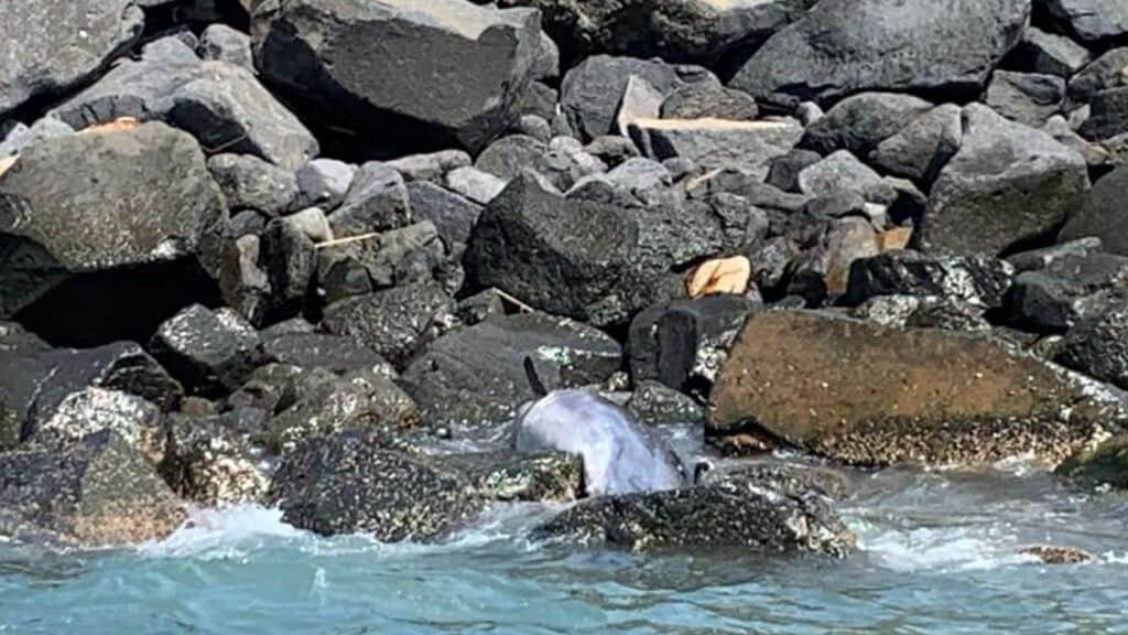 delfino-morto-ostia-onlus-oceanomare