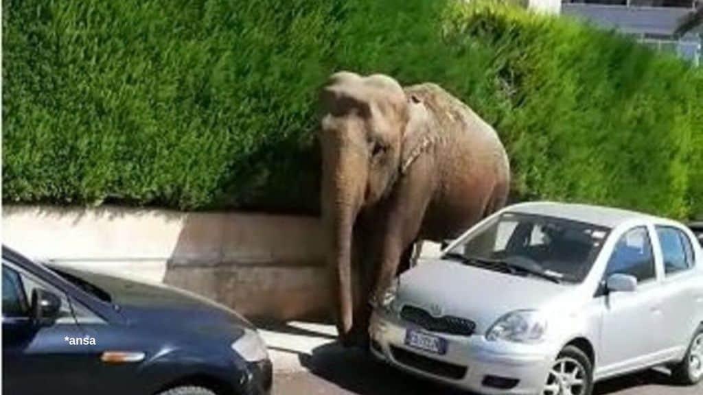 L'elefante che si aggira tra le vie di Francavilla Fontana in Puglia. Fonte: Ansa