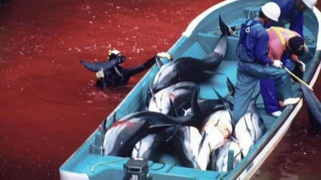 barca di pescatori giapponesi durante il massacro dei delfini