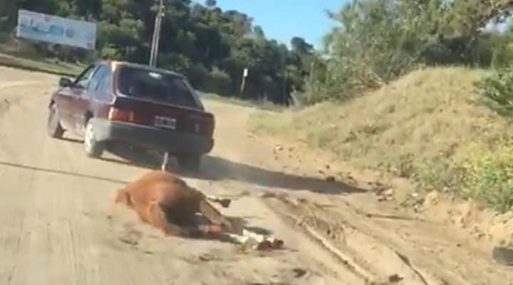 cavallo, Argentina