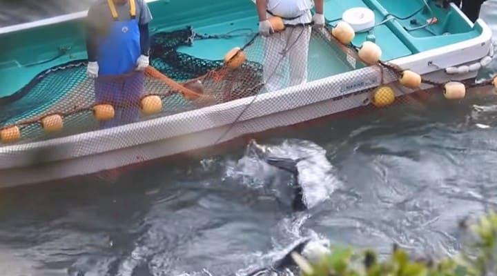 delfini, Taiji