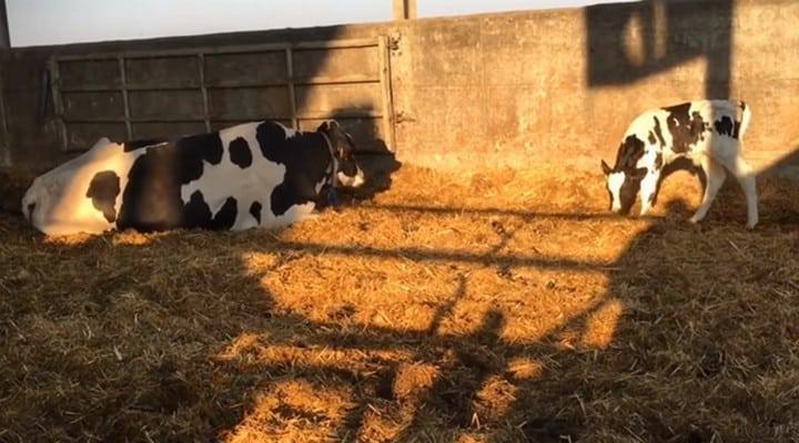 mucche da latte, vitelli