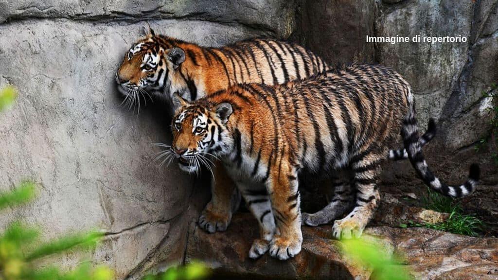 86 tigri delle 147 salvate nel 2016 dal Tiger Temple thailandese sono morte. Si riaccendono le polemiche sul maltrattamento dei maestosi felini al tempio degli orrori (Immagine di repertorio)