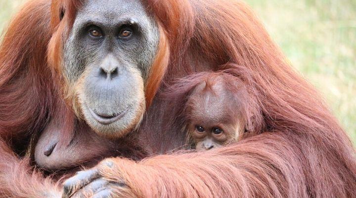 Orangotanghi