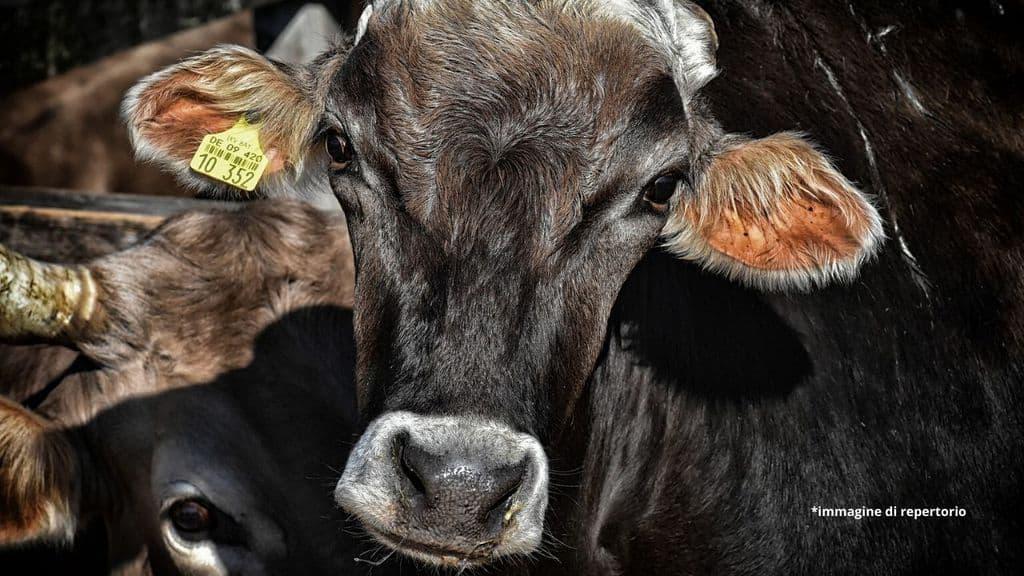 mucca in un allevamento