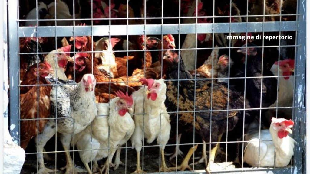A Brugherio sequestrato un allevamento di conigli e pollame. Un centinaio di animali viveva in pessime condizioni igieniche (Immagine di repertorio)