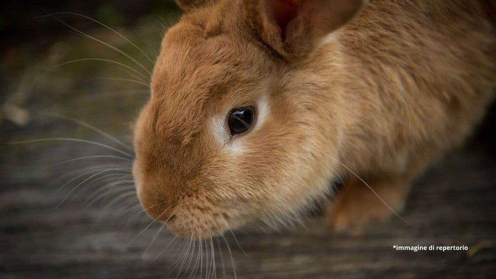 un coniglio