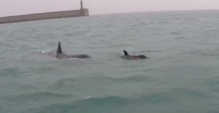 orche nel mare di genova