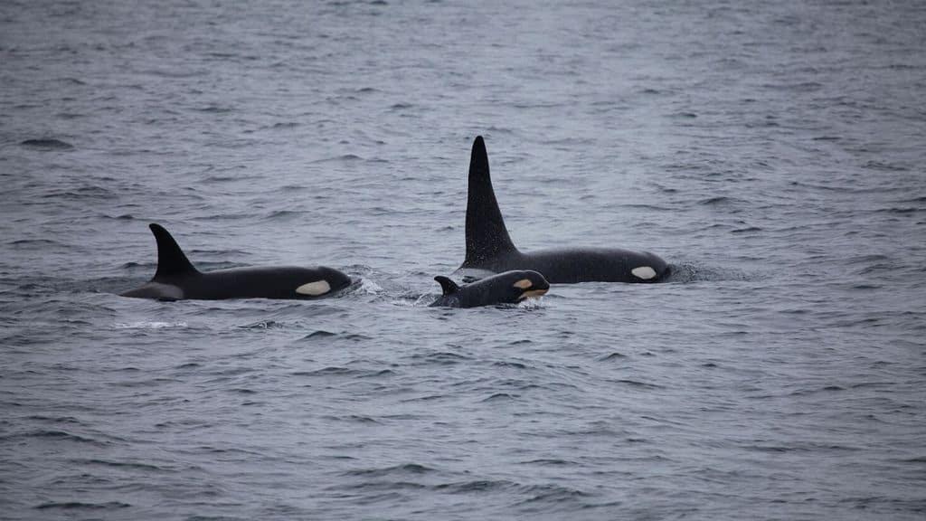 Orche avvistate nello Stretto di Messina: l'incredibile migrazione da Genova