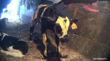 un vitello