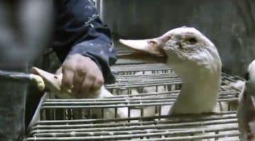Oche durante la produzione del foie gras