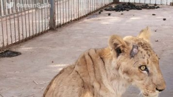 una leonessa