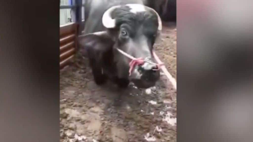 una mucca in ginocchio fuori dal macello