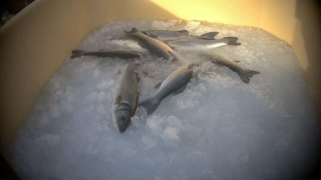 pesci sul ghiaccio