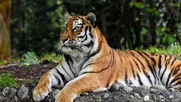 Tigre seduta su una roccia
