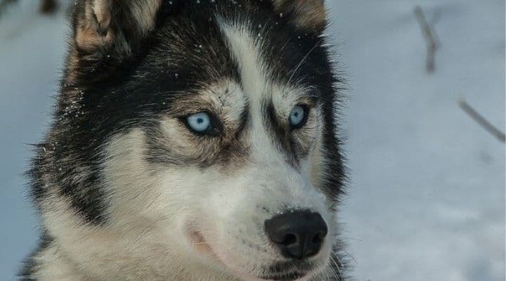Un husky in mezzo alla neve