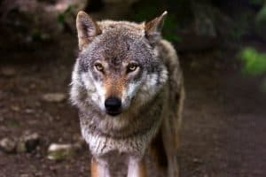 Immagine di repertorio lupo