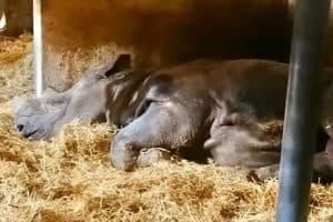 Jacob rinoceronte nero zoo