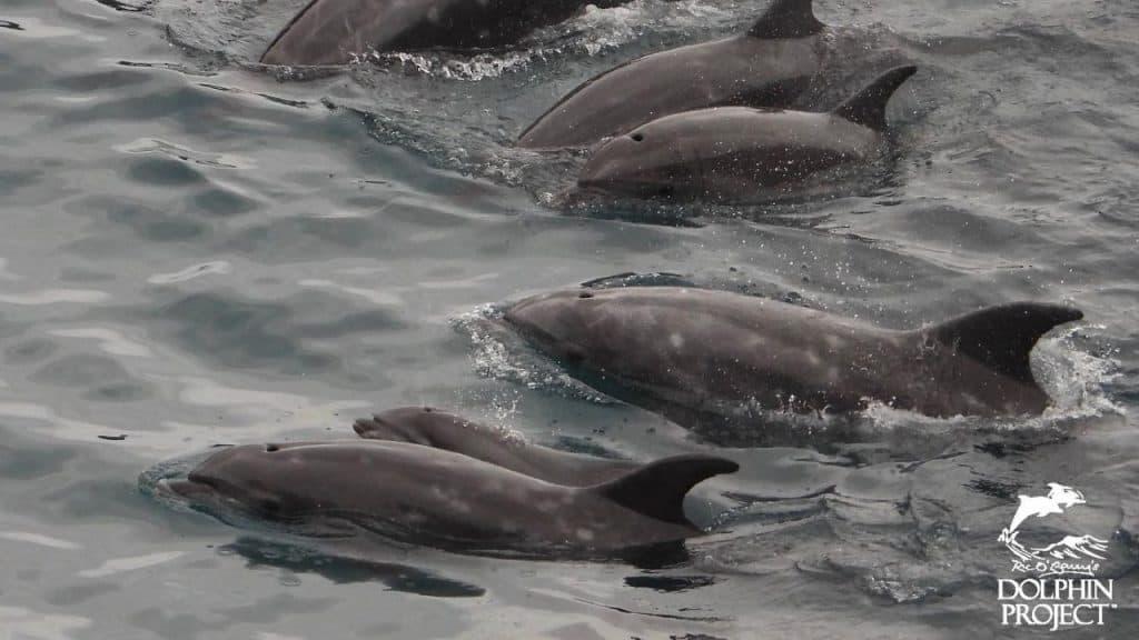 Continua la mattanza di delfini in Giappone: la baia di Taij