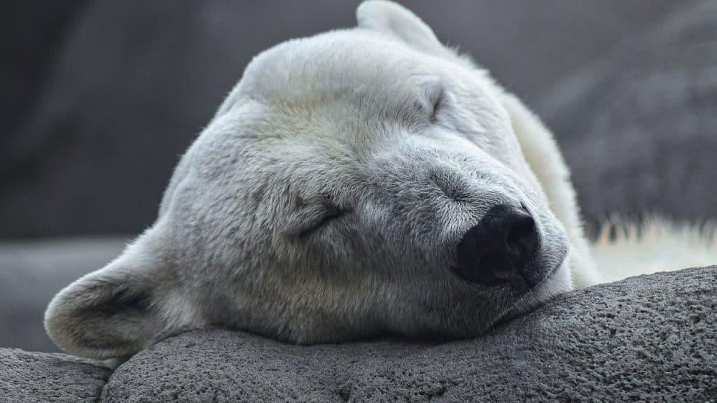 Il cambiamento climatico minaccia gli orsi polari |  l'allarme del WWF