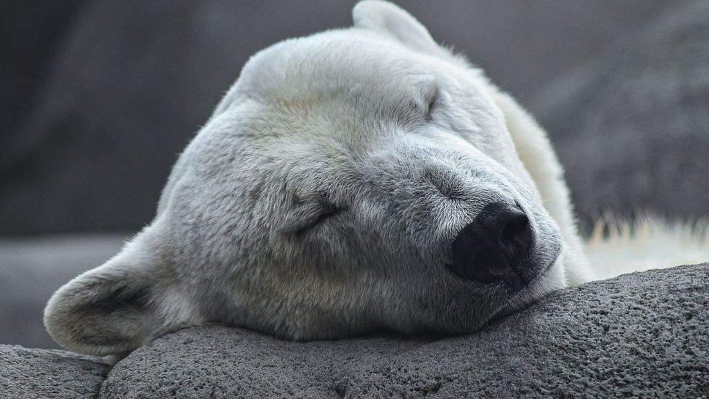 un orso polare che dorme