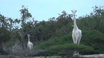 Esemplari di giraffe bianche