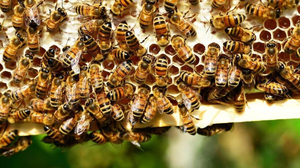 api intorno ad un alveare