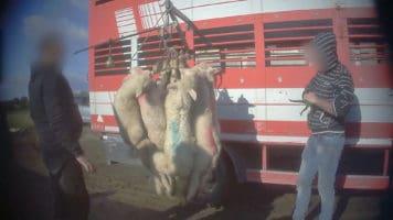 agnelli legati dalle zampe