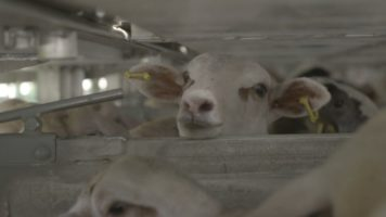 agnello in un container
