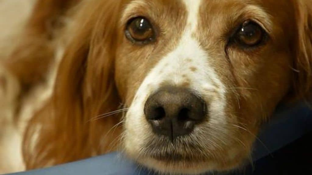 Pavia, 38 cani di razza Breton segregati e tenuti in pessime condizioni igieniche dalla padrona 60enne