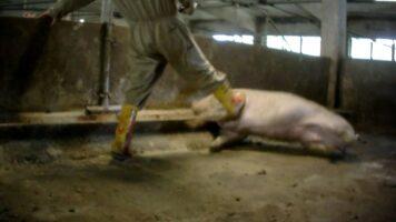 maltramenti maiali allevamento italiano