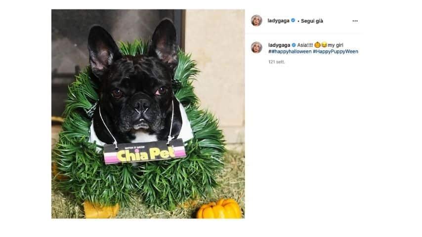 Miss Asia il cane di Lady Gaga che si è salvato dal rapimento