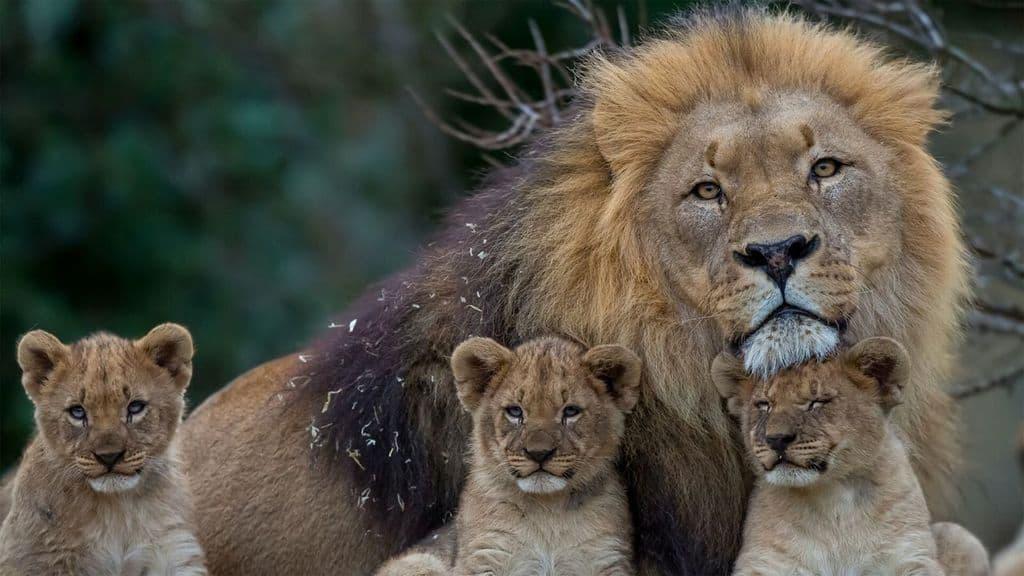 leoni a rischio in africa