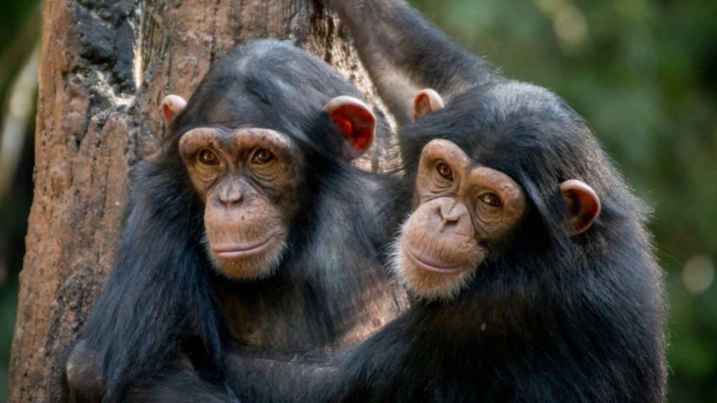 Scimpanzé resistenti agli antibiotici: la scoperta arriva dalla Tanzania, pericolo la specie in via d'estinzione