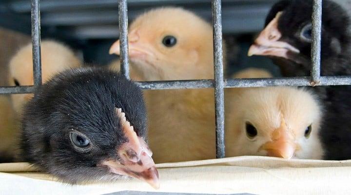 Gabbie negli allevamenti intensivi: il Parlamento europeo chiede il divieto dell'uso delle gabbie