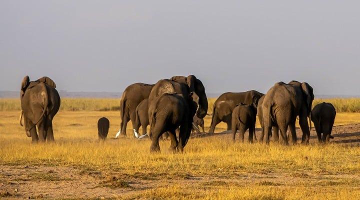elefanti minacciati giacimento petrolio
