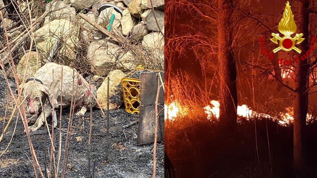 Incendi in Sardegna, animali bruciati vivi
