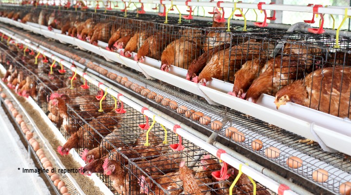 Animali da allevamento, la campagna che  tutela il loro benessere: quali sono le proposte